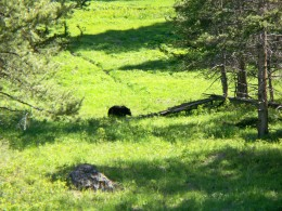 One black bear on the edge of the forest