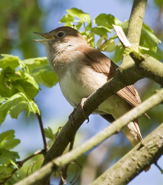 Beautiful songsters like the nightingale are very popular with collectors
