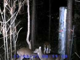 Does are hitting food sources hard building strength before the rut kicks in.