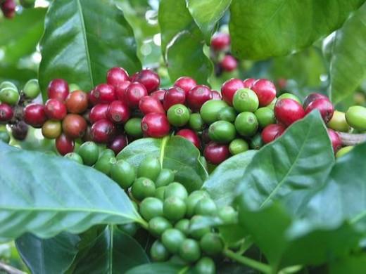 The Coffee Plant - Coffee Seeds - Coffea Arabica