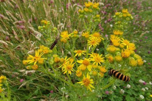 Cinnabar moth caterpillar on ragwort at Salthill