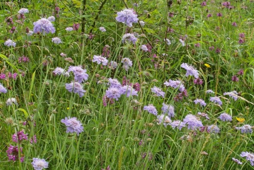 Field Scabious at Salthill Nature Reserve