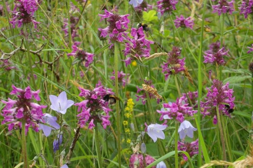 Bettony, Bees and Harebells at Salthill