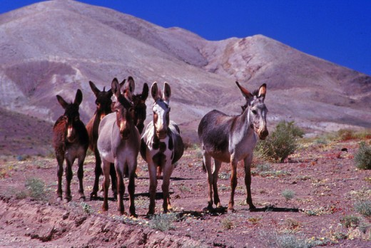 Wild donkeys on the Atacama Desert