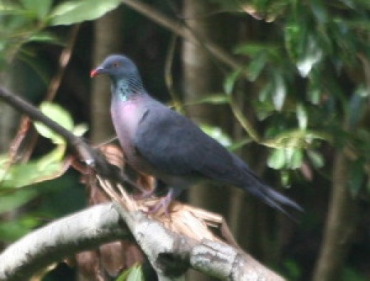 Bolle's Pigeon