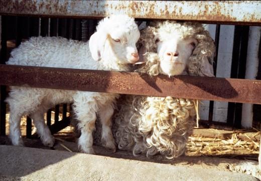 Angora goat and kid