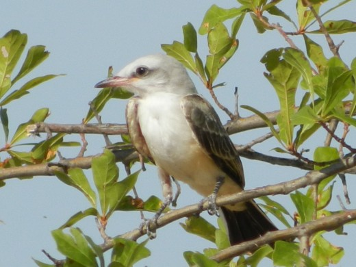 A Still Young Scissor-Tailed Flycatcher