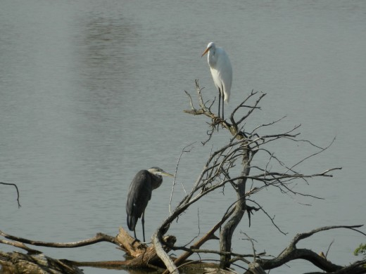 Great Blue heron(lower) with Great Egret(upper)
