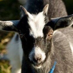 What Burns My Goat PT IX