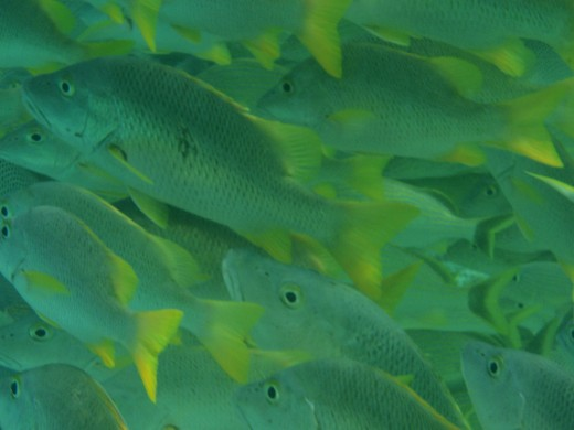Close up on a course of Yellow Tail fish off the Barrier Reef near Ambergris Caye Belize.