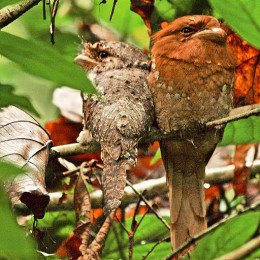 Ceylon frogmouths
