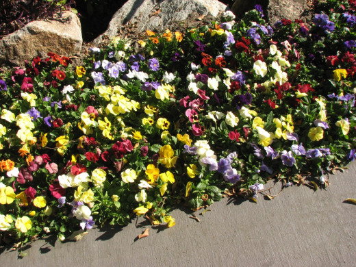 Mixed pansies make an excellent boarder planting.