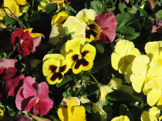 Yellow pansies.