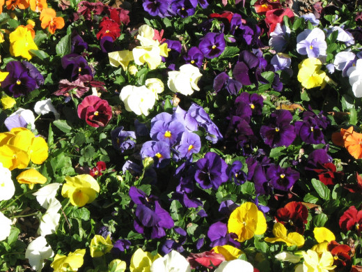 A brilliant display of colorful Winter pansy flowers.