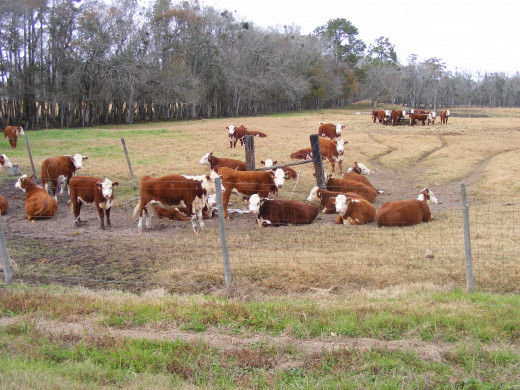 On horseback riding vacations, you might get to work cattle.