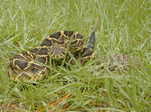 Eastern diamondback rattlesnake. Public domain.