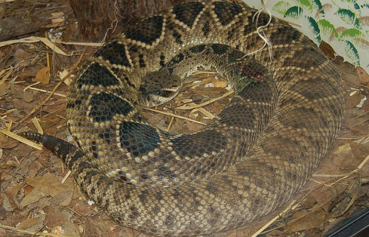 Eastern diamondback rattlesnake. Photo by Elvissa. Attribution-ShareAlike 2.0 Generic (CC BY-SA 2.0)