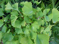 Ginkgo Biloba Benefits for Brain Health