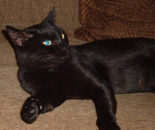 Gabriella: Demon Cat (Devil's Spawn)