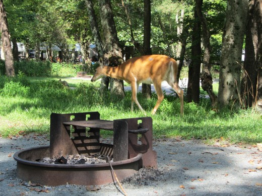 This deer was wandering through my campsite at Big Meadows.