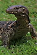 The Asian Water Monitor Lizard; Varanus salvator