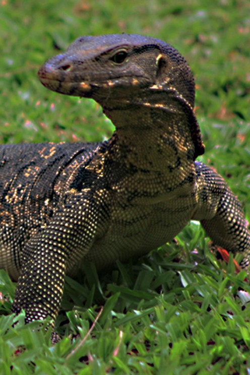 The Asian Water Monitor Lizard; Varanus salvator