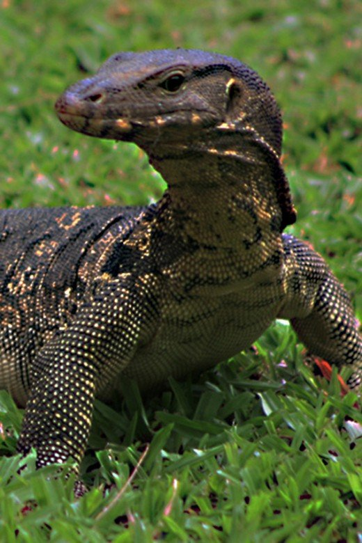 The Asian Water Monitor