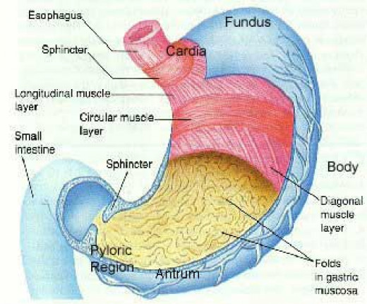 The sections of the stomach.