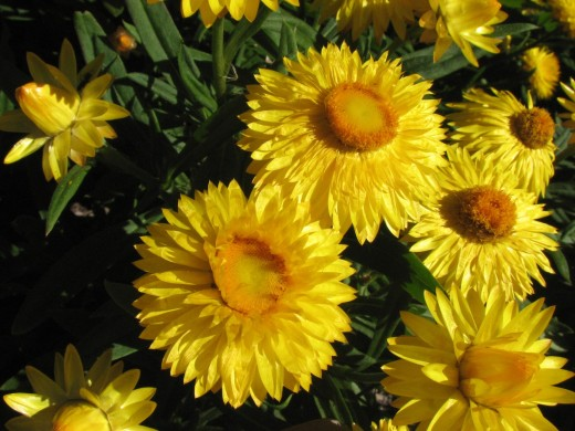 Yellow Paper Daisy Cultivar.