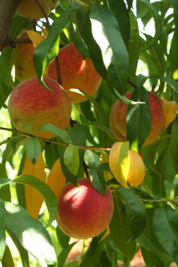 Peaches - yummy!