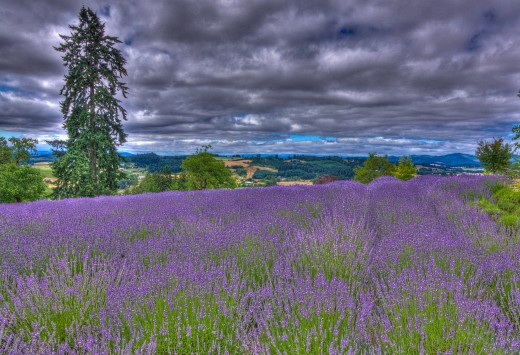 There are many gorgeous Lavender farms in Oregon and this is one of them...the Woodland Farm in Yamhill County.