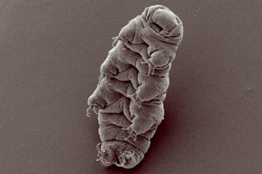 Water bear (tardigrade), Hypsibius dujardini, scanning electron micrograph by Bob Goldstein and Vicky Madden, http://tardigrades.bio.unc.edu/ Author: Rpgch