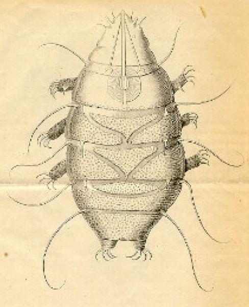 Echiniscus species illustration in Public Domain