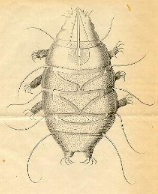 Echiniscus species illustration in Public Domain