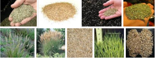 "Grass seeds as an alternative to rice and a ""Green Wedding"" departure idea."