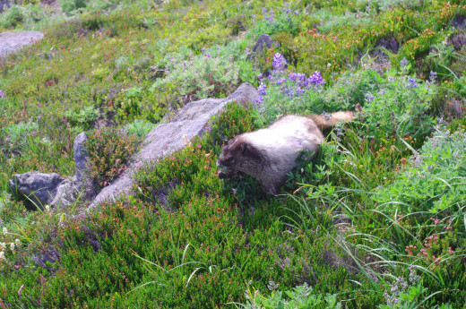 Close up of the grazing marmot who didn't seem to mind my company.