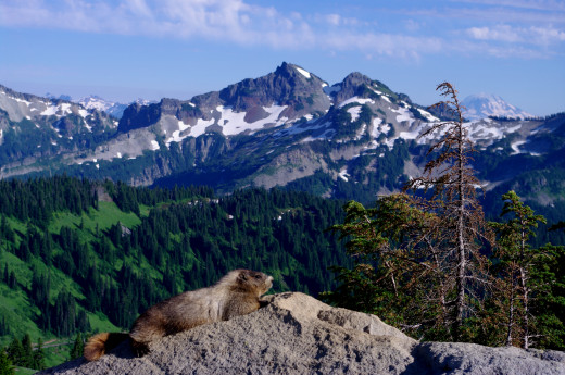 Another marmot lounging on a sunny rock.