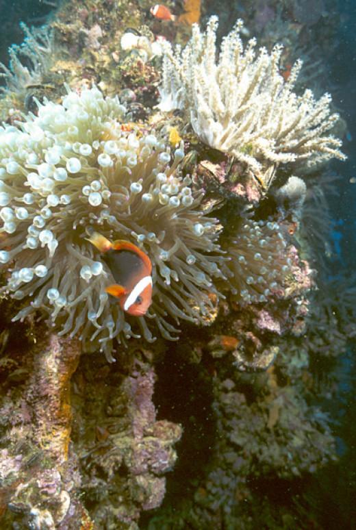 Anenomefish_on_the_wreck_of_the_Japanese_tanker_Iro,_Palau_Islands,_Micronesia