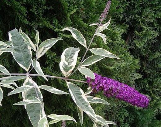 Buddleia davidii flowers. Photo in Public Domain