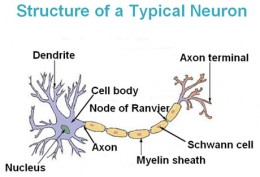 Exercise keeps the nervous system and it's cells healthy.