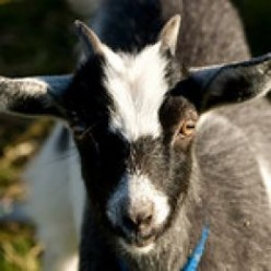 What Burns My Goat PT XIII