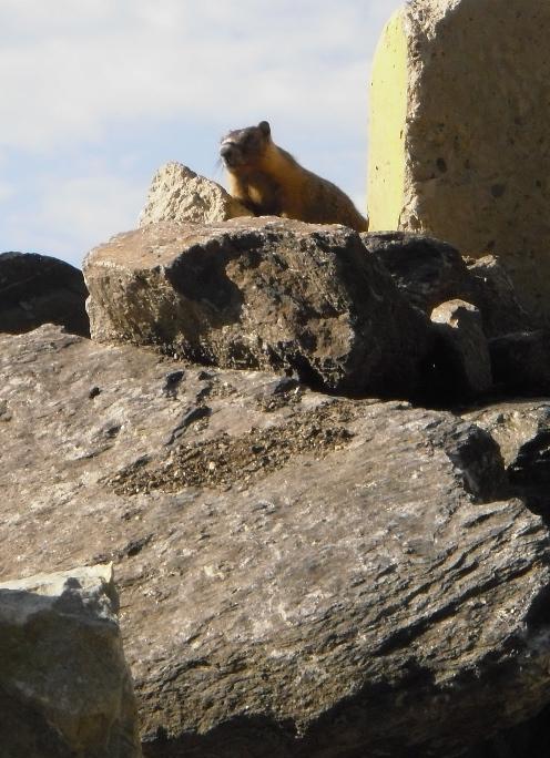 Yellow Bellied Marmot, or Rock Chuck suns himself on warm rocks.