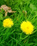 The Dandelion - a common edible plant to go foraging or wildcrafting for