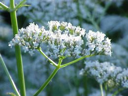 Valerian flowers. Photo by Kurt Stueber