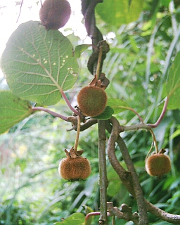 Homegrown Kiwi Fruit. Photo by Steve Andrews