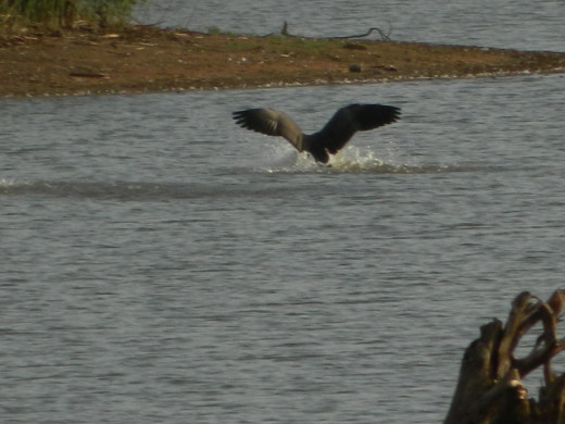 Canada Goose Landing in the Water