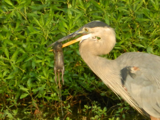 Great Blue Heron Captures Mouse