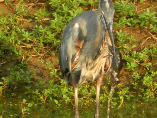 Great Blue Heron with His Mouse