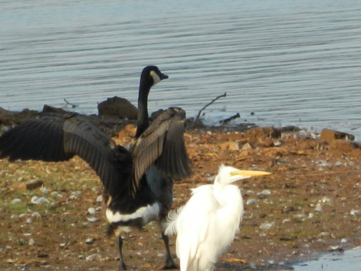 Canada Goose (upper) with Great Egret (lower)