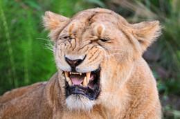 Flehmen response in lioness